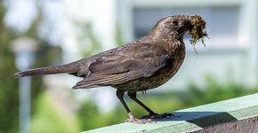 Merel op balkon / Shutterstock