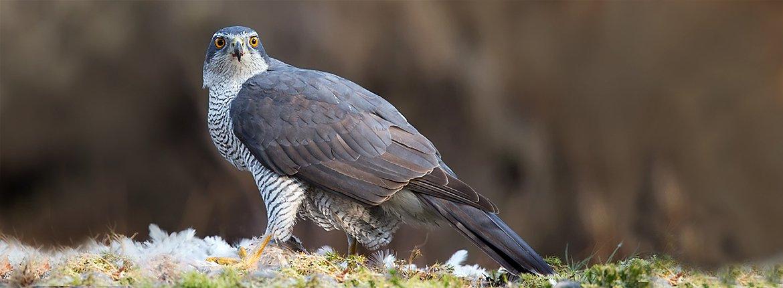 Havik /Birdphoto