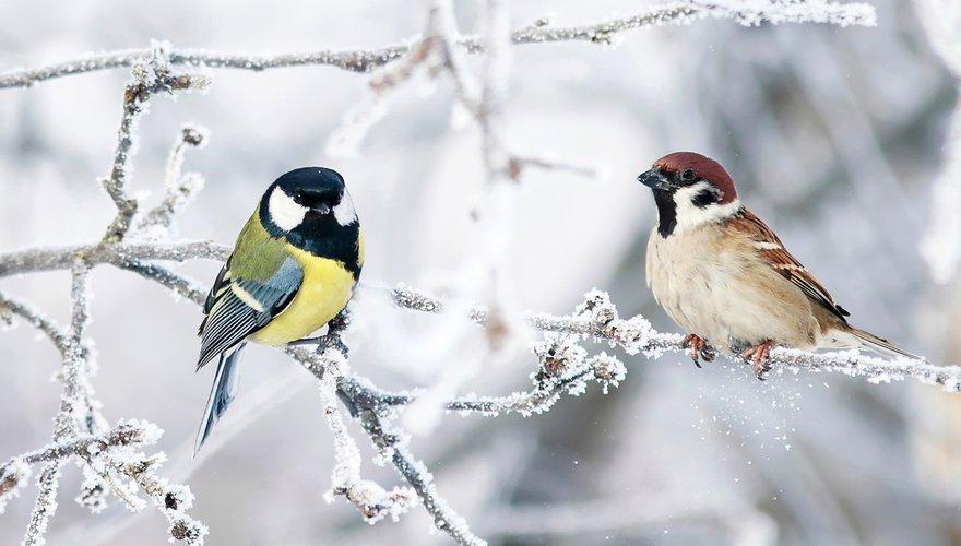 Koolmees en ringmus / Shutterstock