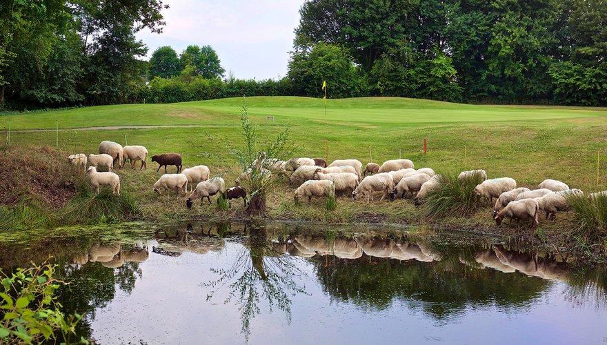 Schapen op golfterrein / Willy Opreij
