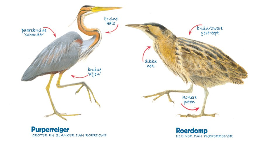 Infographic purperreiger - roerdomp