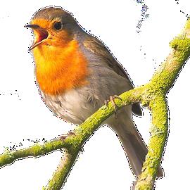 Roodborst / Pixabay