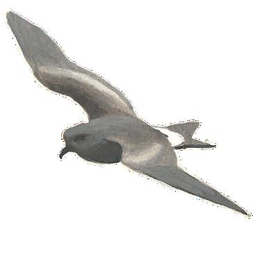 Vaal stormvogeltje / Elwin van der Kolk