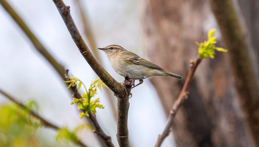 Humes bladkoning / Shutterstock