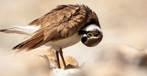 Kleine plevier / Shutterstock