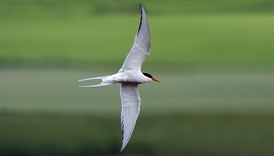 Noordse stern / Birdphoto