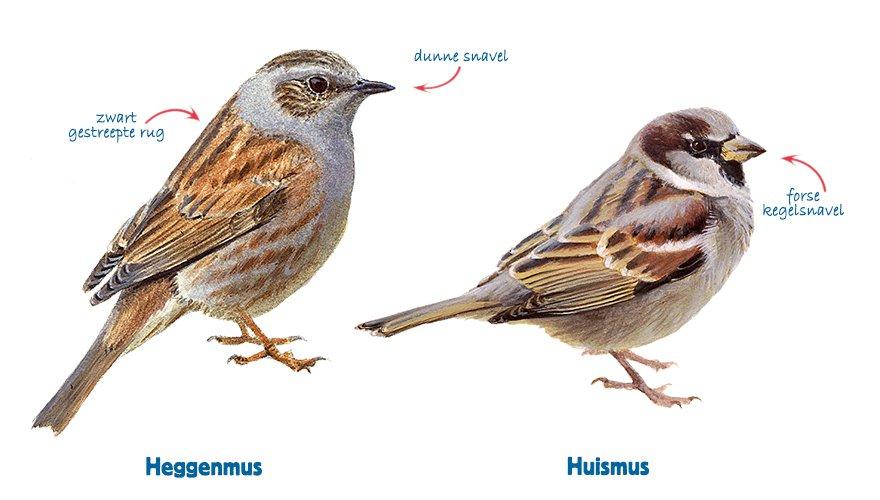 Infographic heggenmus - huismus