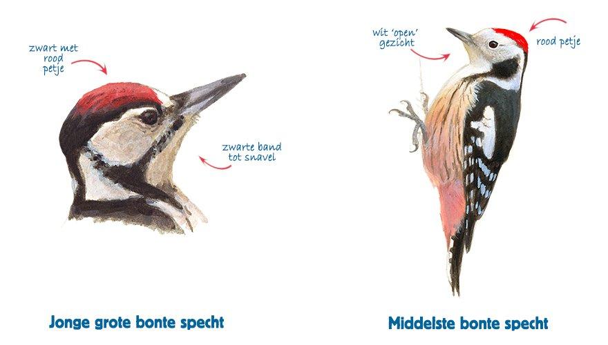 Infographic jonge grote bonte specht vs middelste bonte specht