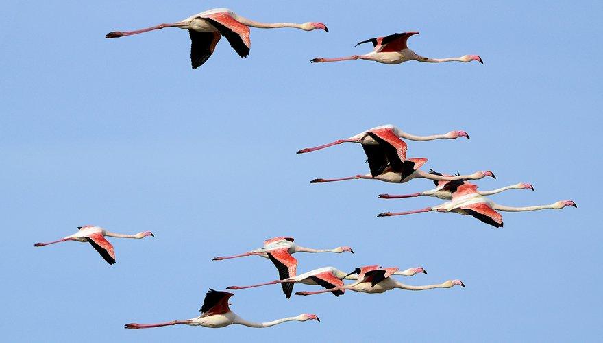 Flamingo / Hans Peeters
