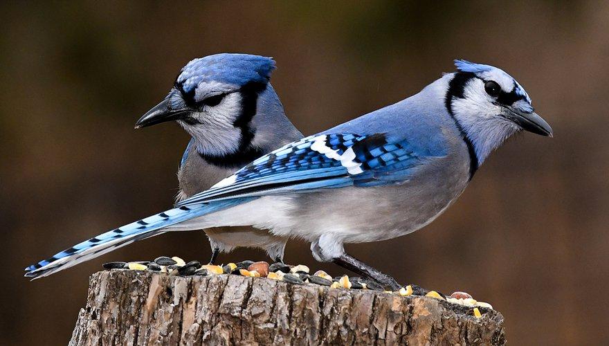 Westerse blauwe gaai / Shutterstock