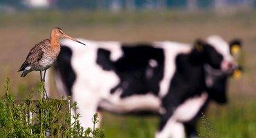 Grutto met koeien / Paul Sinnema -Vogelweb