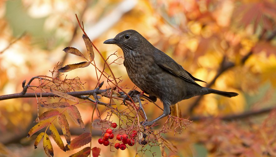 Merel vrouw / Birdphoto