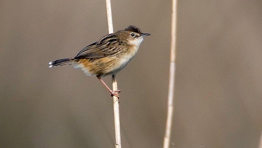 Graszanger / Birdphoto