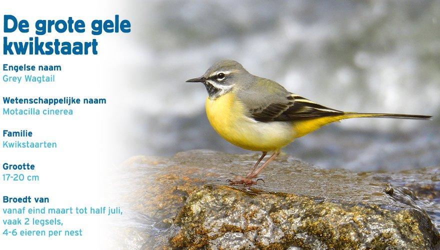 Grote gele kwikstaart paspoort vogelcursus