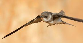 Oeverzwaluw / Shutterstock