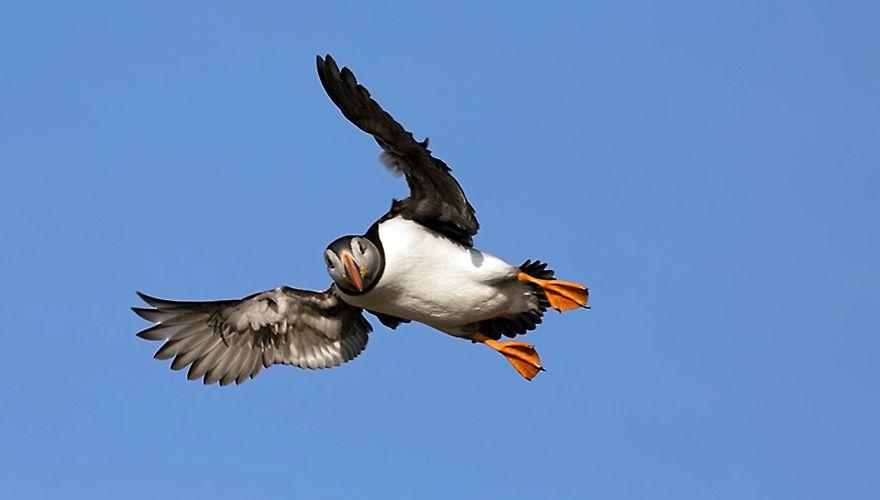 Papegaaiduiker / Birdphoto
