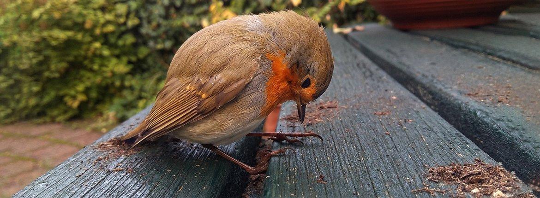 Versufte roodborst na raambotsing / Shutterstock