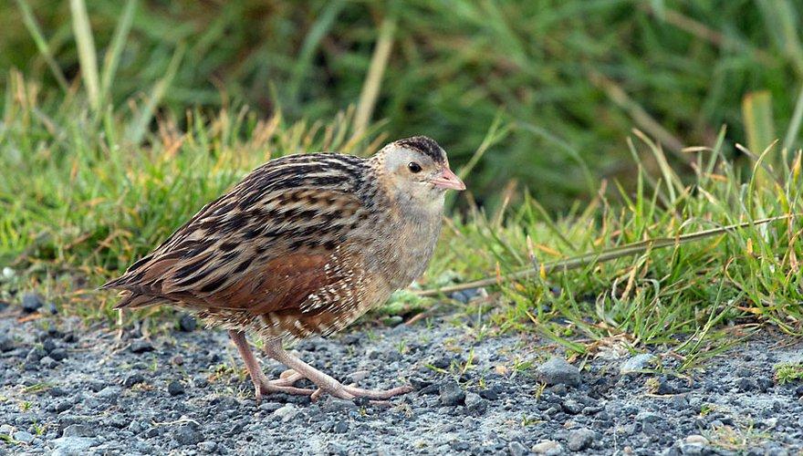 Kwartelkoning / Birdphoto
