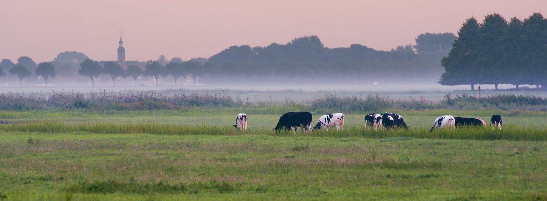 Koeien Weerribben