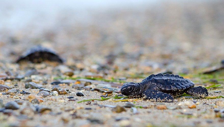 Lederschildpad / Hans Peeters
