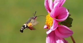 Kolibrie vlinder / Pixabay