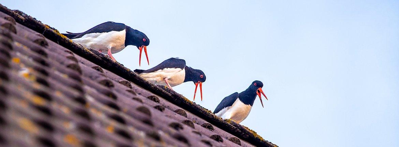 Scholeksters op dak / Rafael Martig
