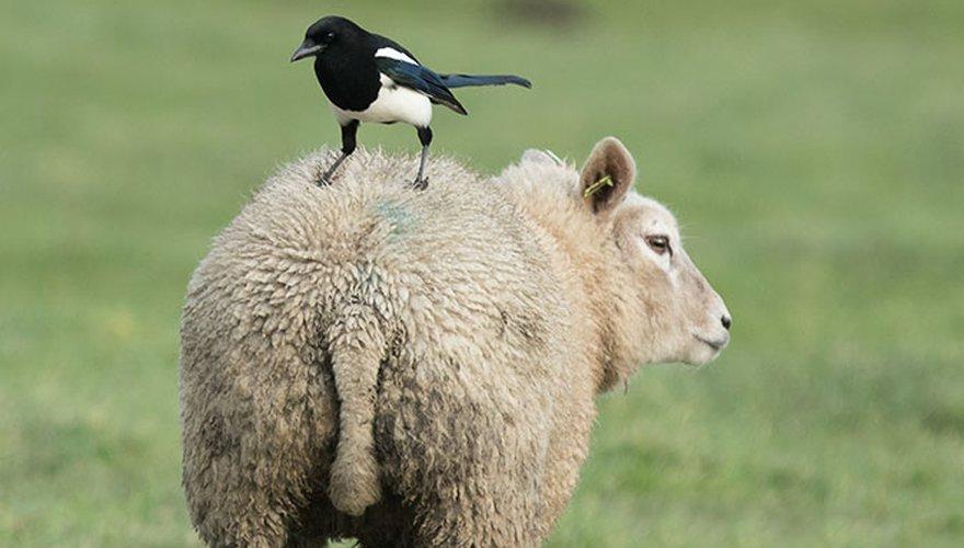 Ekster / Adri de Groot Vogeldagboek.nl