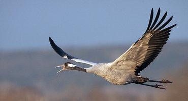 Kraanvogel / Agami - Jari Pltomaki