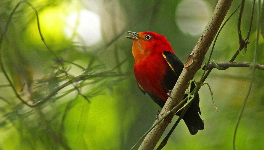 Roodkruinmanakin / Shutterstock