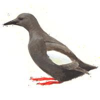 Zwarte zeekoet / Elwin van der Kolk