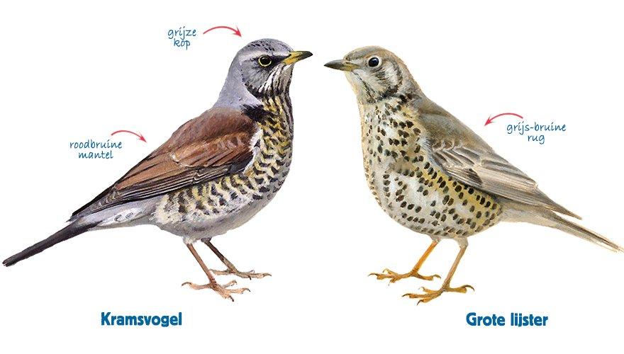infographic kramsvogel - grote lijster