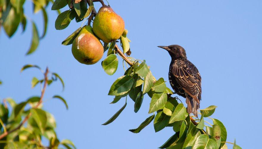Spreeuw fruit / Shutterstock