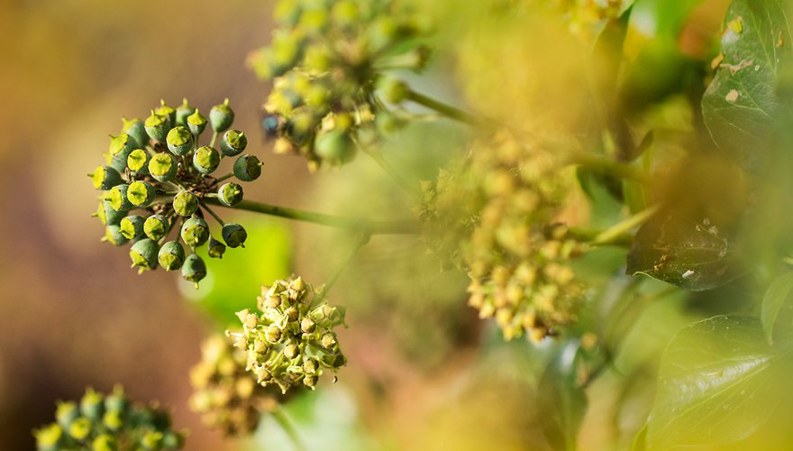 Hedera helix / Agami - Wil Leurs