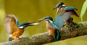 IJsvogel / Mike Seuters - Fotogalerij