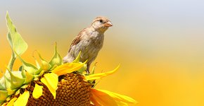 Huismus op zonnebloem / Shutterstock