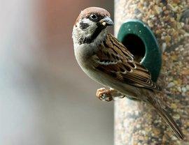 Ringmus op voedersilo / Adri de Groot - Vogeldagboek