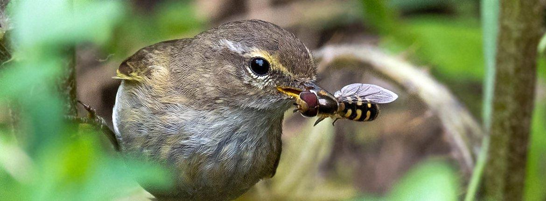 Tjiftjaf met insect / Helga Masurel - Fotogalerij