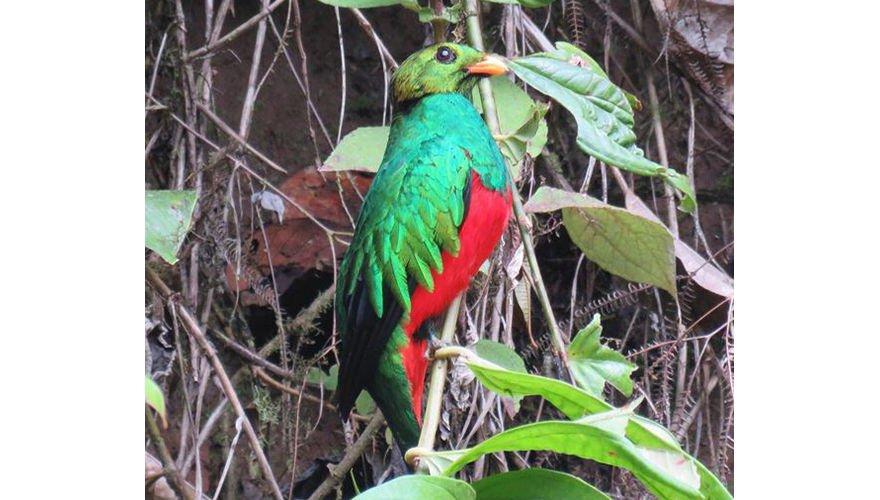 Golden headed quetzal / Arjan Dwarshuis
