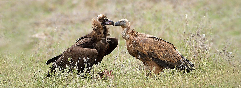 Monniksgier en vale gier / Birdphoto