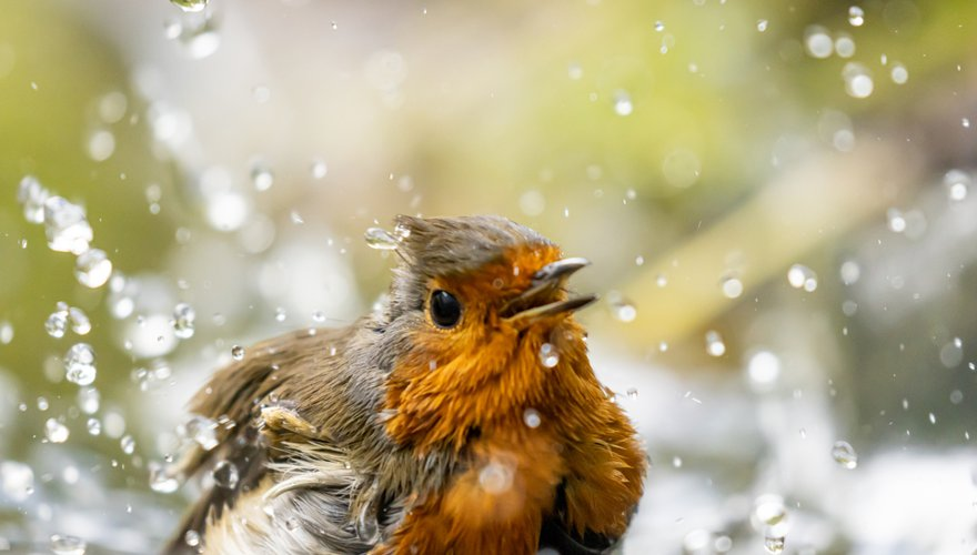 Roodborst water / John Stijnman Fotogalerij