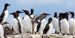 Zeekoeten op Farne Islands