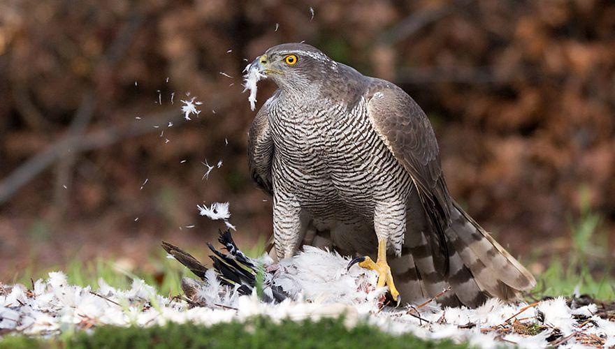 Havik / Birdphoto
