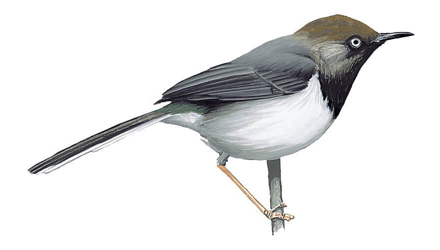 Taita-apalis / BirdLife