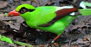 Javan Green Magpie / Florian Richter