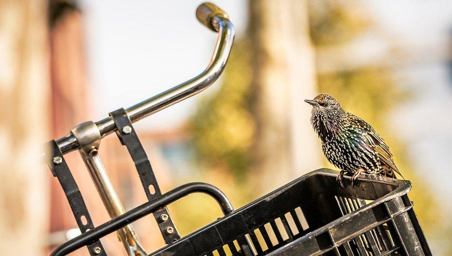 Spreeuw op fiets / Shutterstock