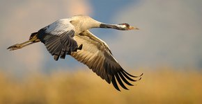 Kraanvogel / Shutterstock