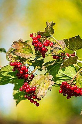 Gelderse roos / Shutterstock