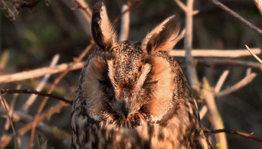 Videostill ransuil Vogelbescherming