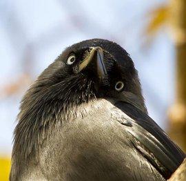 Kauw / Servan Ott (Vogelweb)