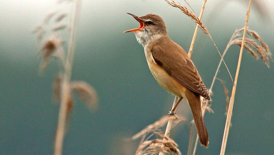 Grote karekiet  / Birdphoto